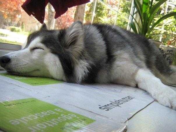 tally-husky-dog-raised-by-cats-17
